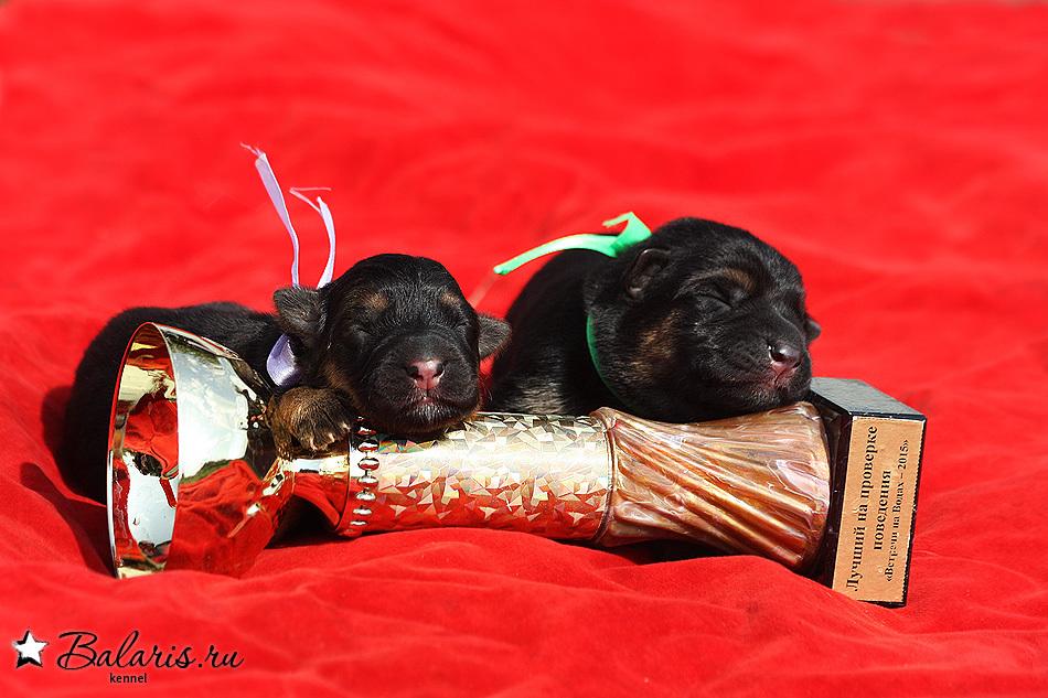 Balaris SIRIYA - - Litters ::: Kennel of german shepherd dog «BALARIS»